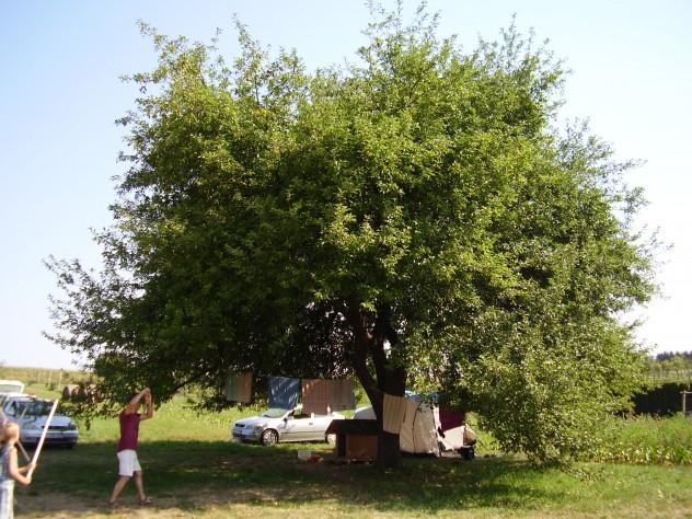 A birtok hatalmas almafája